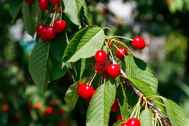 Ώριμα κόκκινα κεράσια σε μια κινηματογράφηση σε πρώτο πλάνο κλάδων δέντρων στοκ εικόνες