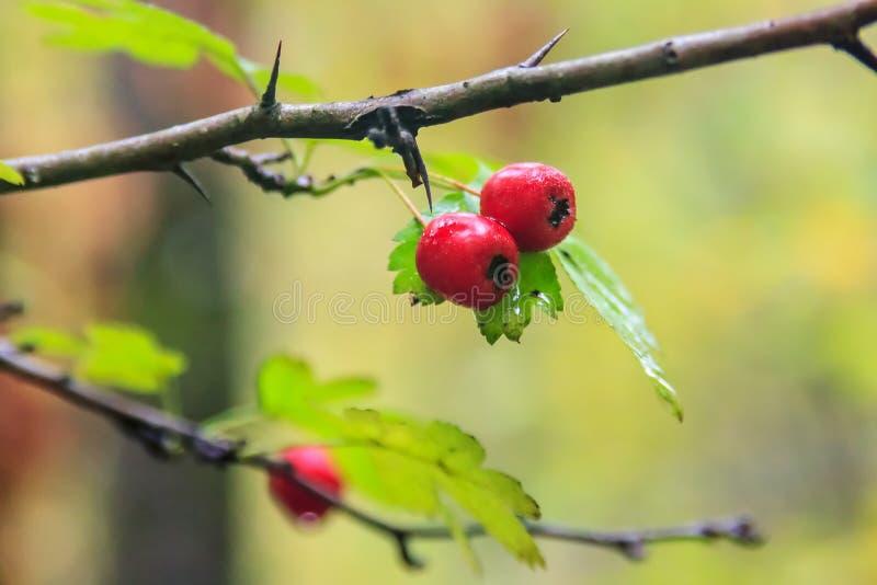 Ώριμα κόκκινα μούρα haw στον ακανθώδη κλάδο δέντρων κραταίγου Στενό επάνω υπόβαθρο naure φθινοπώρου στοκ εικόνα