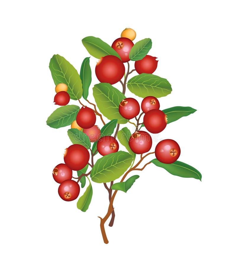 Ώριμα κόκκινα τα βακκίνια με τα φύλλα. Διανυσματική απεικόνιση. απεικόνιση αποθεμάτων