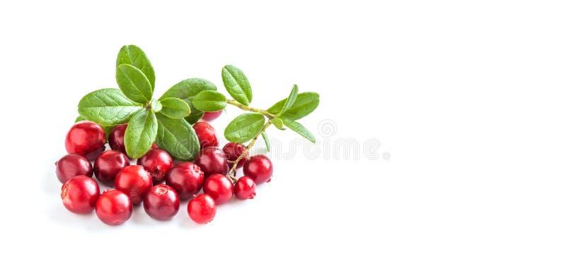 Ώριμα κόκκινα cowberries που απομονώνονται στο άσπρο υπόβαθρο Φρέσκο Vaccinium μούρων vitis-idaea με τα πράσινα φύλλα διάστημα αν στοκ φωτογραφία