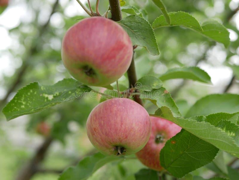 Ώριμα μήλα σε έναν κλάδο με τα πράσινα φύλλα μια ηλιόλουστη θερινή ημέρα φυσική βιταμίνη r r οπωρώνας μήλων FR στοκ εικόνα