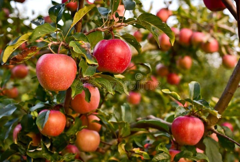 Ώριμα μήλα στον κλάδο δέντρων μηλιάς στοκ φωτογραφίες