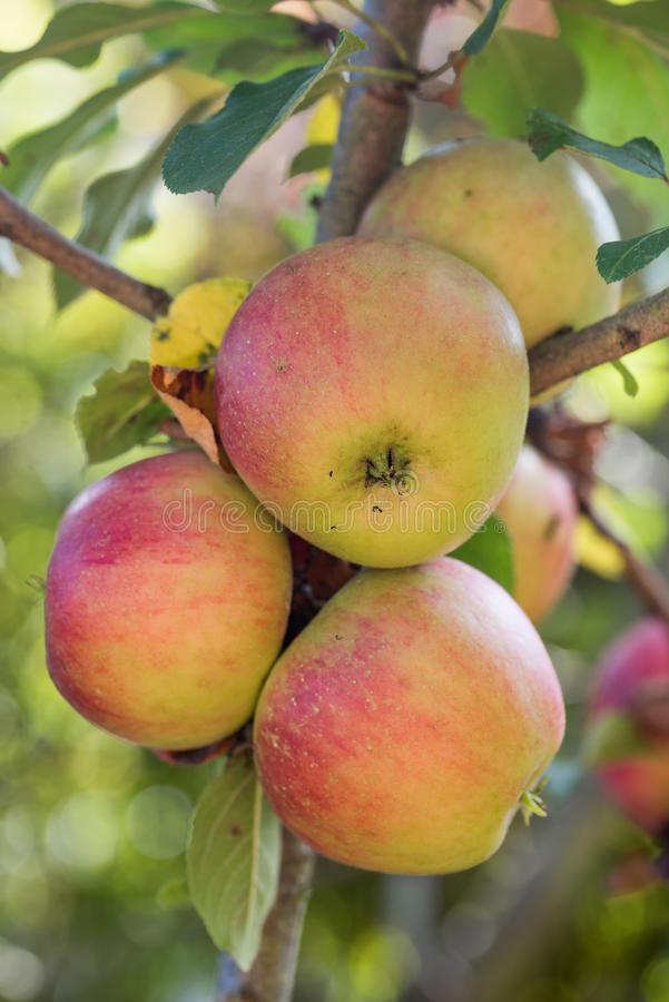 Ώριμα μήλα κόκκινα και χρυσά στοκ εικόνες
