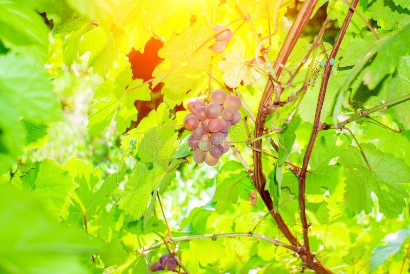 Ώριμα μαύρα σταφύλια σε έναν αμπελώνα την ηλιόλουστη ημέρα ώριμοι καρποί για κρασί και χυμό σταφυλιών στοκ εικόνα