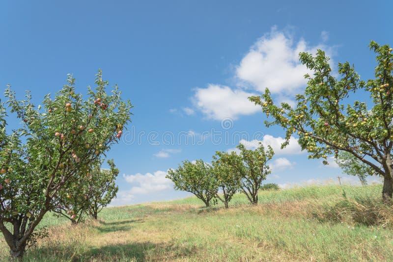 Ώριμα ροδάκινα που κρεμούν στον κλάδο δέντρων στον οπωρώνα σε Waxahachie, Te στοκ εικόνα