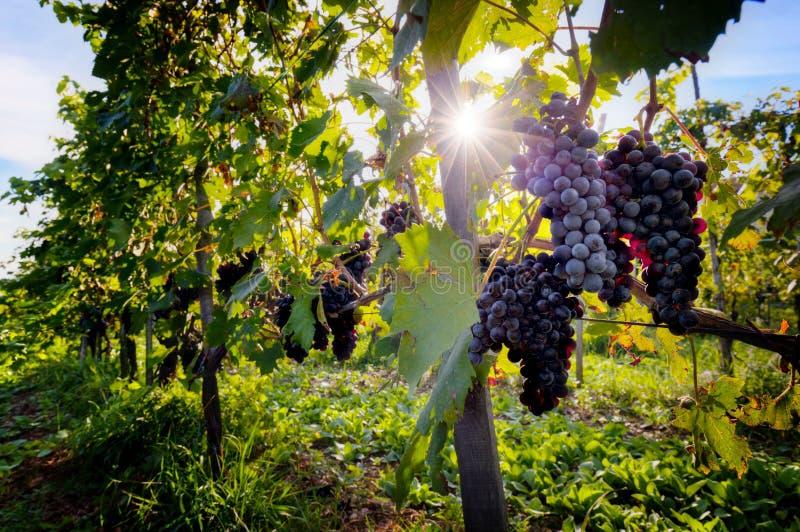 Ώριμα σταφύλια κρασιού στις αμπέλους στην Τοσκάνη, Ιταλία στοκ εικόνα