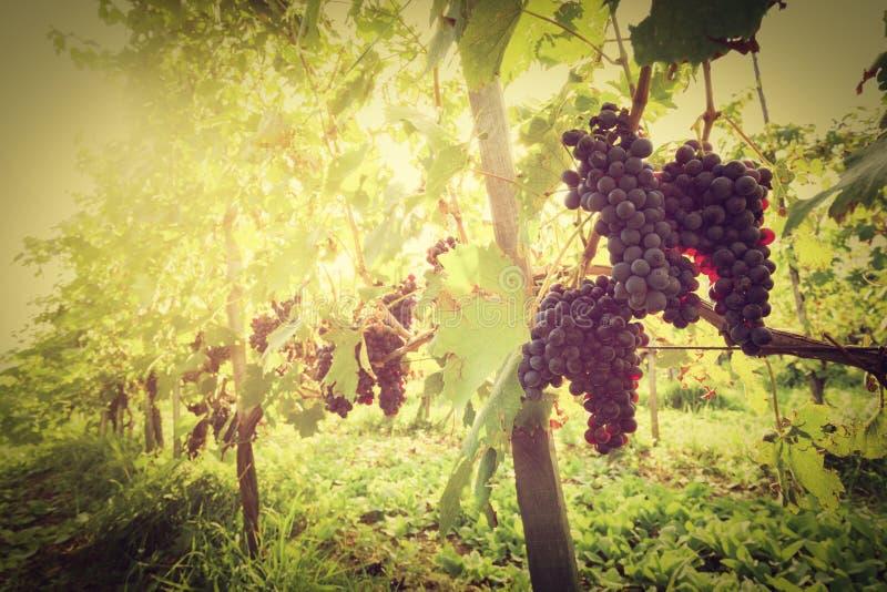 Ώριμα σταφύλια κρασιού στις αμπέλους στον αμπελώνα της Τοσκάνης, Ιταλία στοκ εικόνες