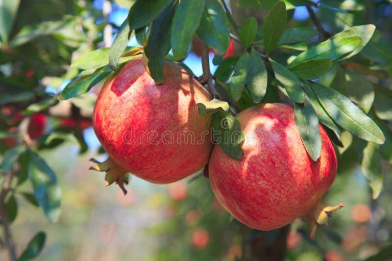 Ώριμα φρούτα ροδιών στον κλάδο δέντρων στοκ εικόνες