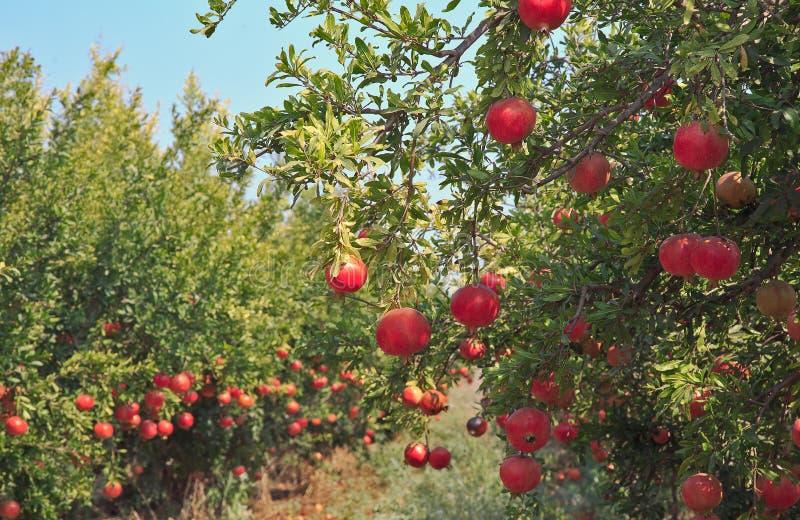Ώριμα φρούτα ροδιών στον κλάδο δέντρων στοκ φωτογραφία με δικαίωμα ελεύθερης χρήσης
