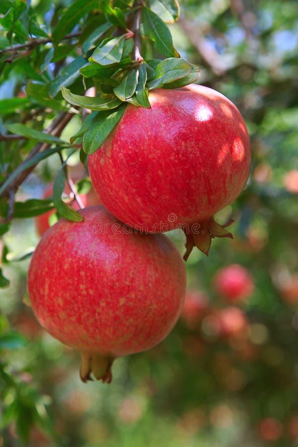 Ώριμα φρούτα ροδιών στον κλάδο δέντρων στοκ εικόνα