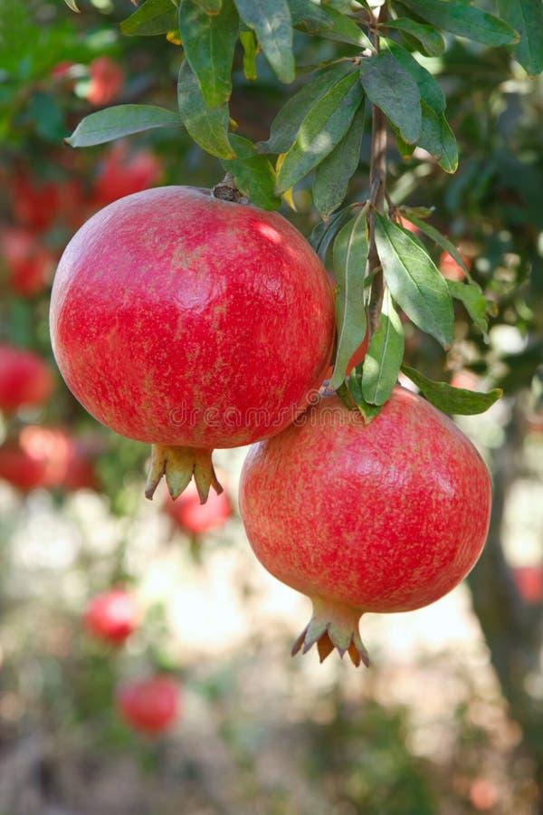 Ώριμα φρούτα ροδιών στον κλάδο δέντρων στοκ φωτογραφίες με δικαίωμα ελεύθερης χρήσης