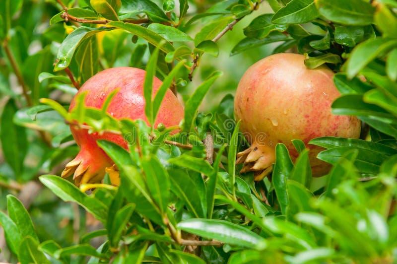 Ώριμα φρούτα ροδιών στο δέντρο, υγιής κατανάλωση στοκ εικόνες