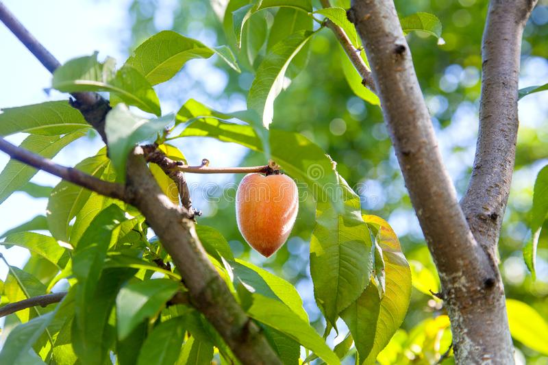 Ώριμα juicy ροδάκινα σε έναν κλάδο δέντρων την ηλιόλουστη θερινή ημέρα στοκ φωτογραφία