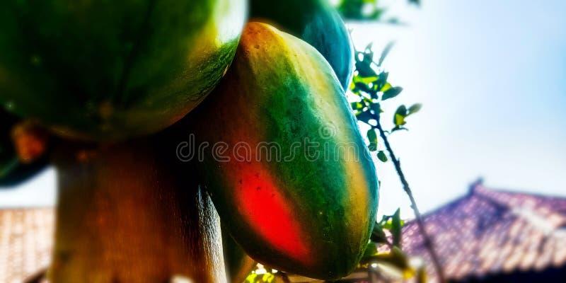 Ώριμα Papaya φρούτα στοκ φωτογραφίες