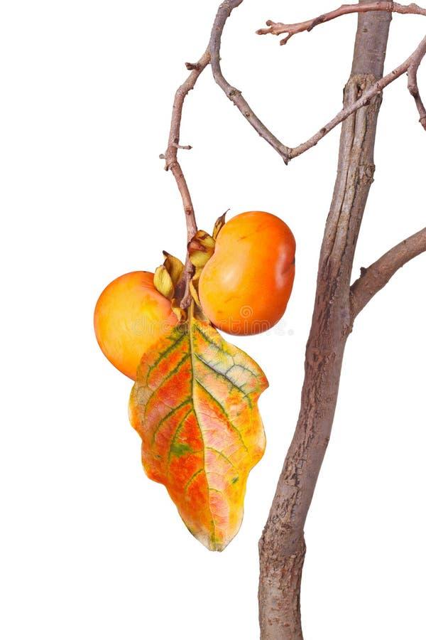 Ώριμα persimmons και φύλλο που απομονώνονται ενάντια στο λευκό στοκ εικόνες