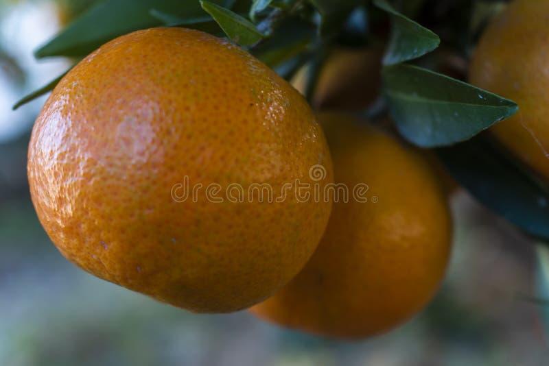 ώριμα tangerines στοκ εικόνες