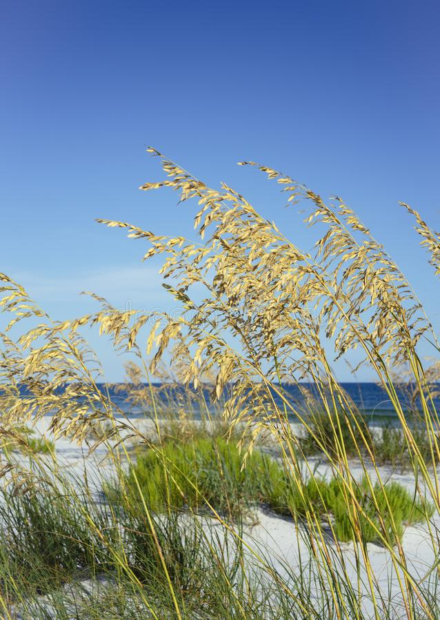 Ώριμες βρώμες θάλασσας το καλοκαίρι στην παραλία της Φλώριδας στοκ φωτογραφίες με δικαίωμα ελεύθερης χρήσης
