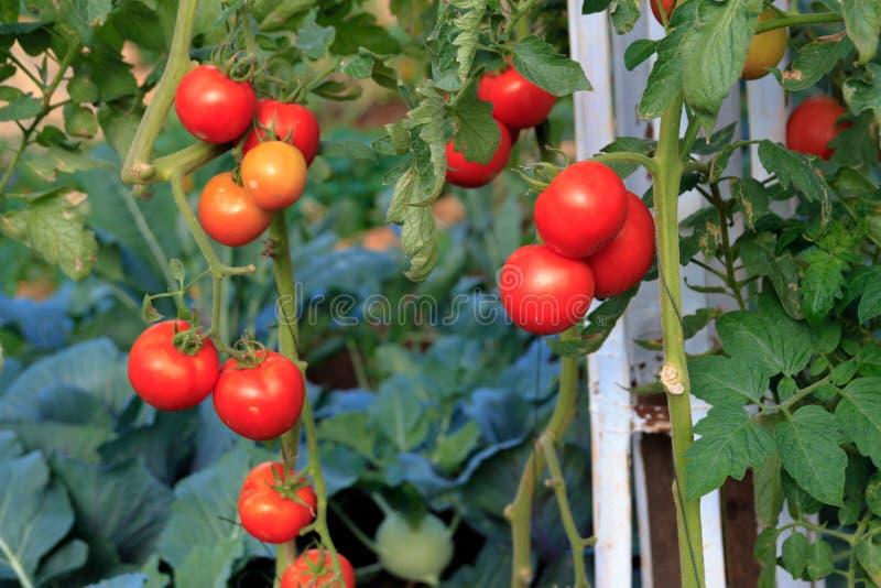 Ώριμες ντομάτες έτοιμες να επιλέξουν σε ένα θερμοκήπιο στοκ εικόνα με δικαίωμα ελεύθερης χρήσης