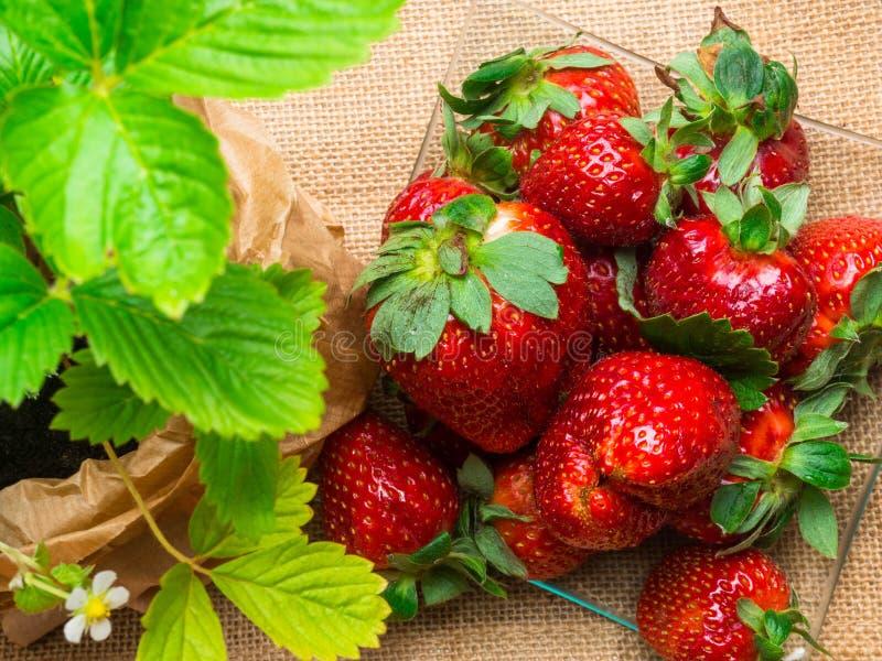 ώριμες φράουλες sackcloth στην κινηματογράφηση σε πρώτο πλάνο στοκ εικόνα με δικαίωμα ελεύθερης χρήσης