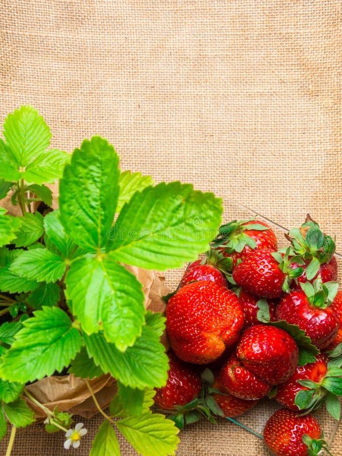ώριμες φράουλες sackcloth στην κινηματογράφηση σε πρώτο πλάνο στοκ φωτογραφία
