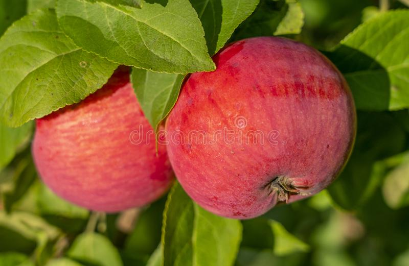 Ώριμη κόκκινη ένωση κινηματογραφήσεων σε πρώτο πλάνο μήλων σε έναν κλάδο της Apple στοκ φωτογραφία με δικαίωμα ελεύθερης χρήσης