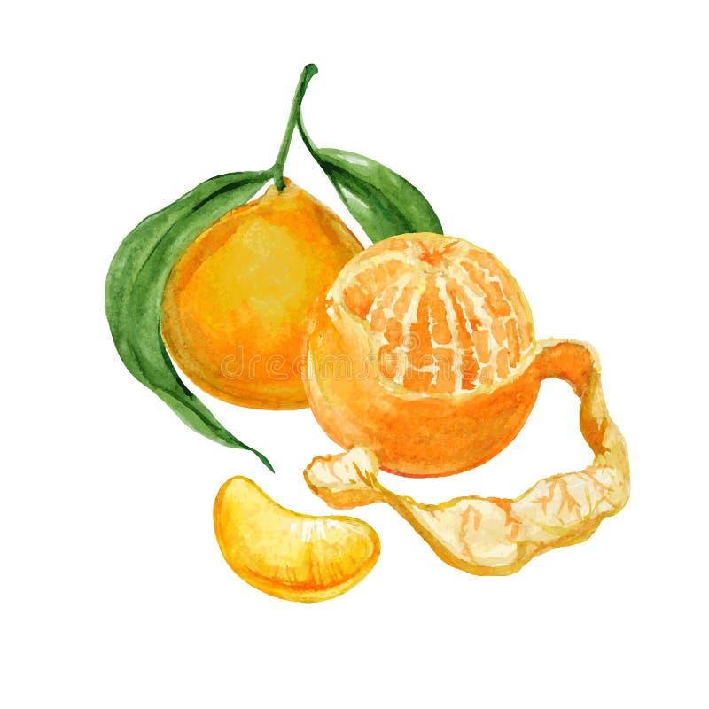 Ώριμη tangerine ή κλημεντίνη ελεύθερη απεικόνιση δικαιώματος