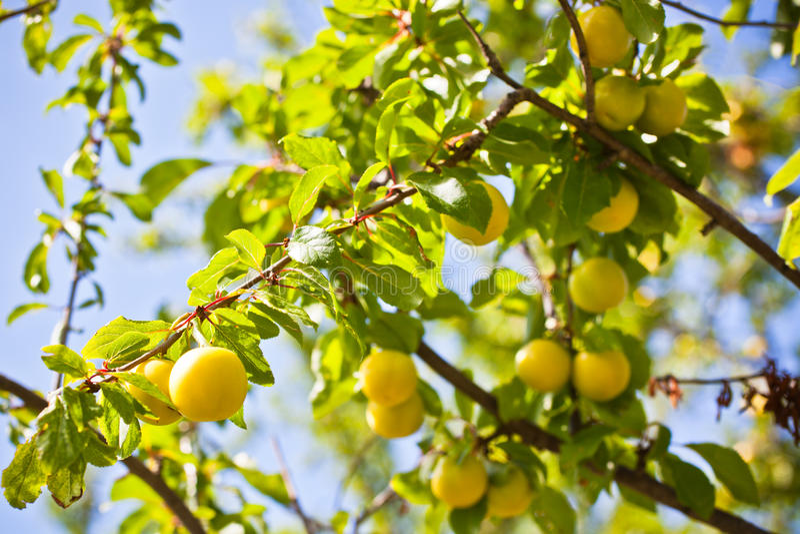 Ώριμοι κίτρινοι κλάδοι δέντρων δαμάσκηνων στοκ φωτογραφία