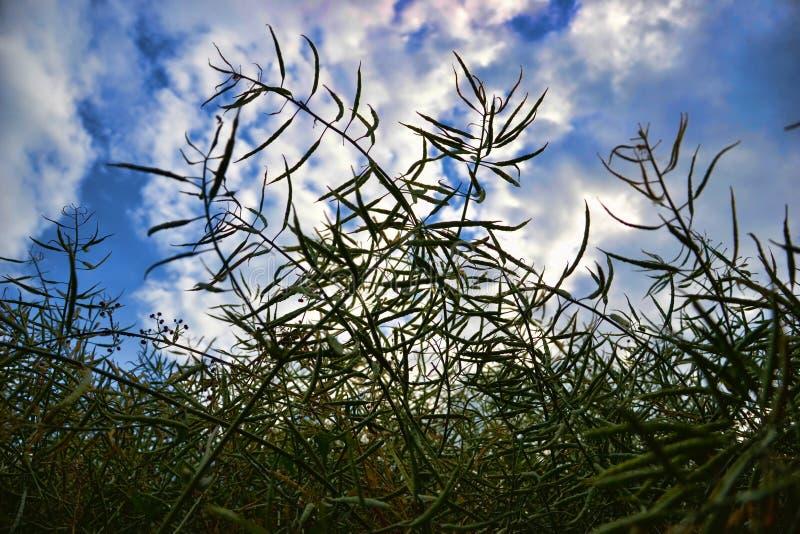 Ώριμοι σπόροι του βιασμού Τομέας του πράσινου ripeness βιασμού ελαιοσπόρων που απομονώνεται σε έναν νεφελώδη μπλε ουρανό στο θερι στοκ εικόνες με δικαίωμα ελεύθερης χρήσης