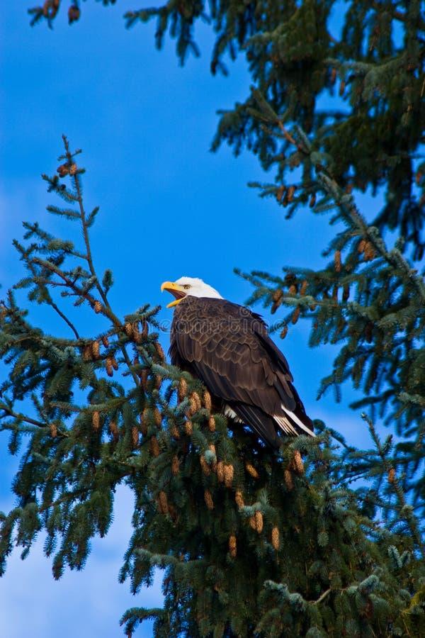 Ώριμος αμερικανικός φαλακρός αετός με το ράμφος ανοικτό στοκ φωτογραφία