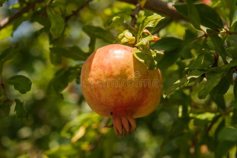 Ώριμος ζωηρόχρωμος καρπός ροδιών στον κλάδο δέντρων στοκ φωτογραφία με δικαίωμα ελεύθερης χρήσης