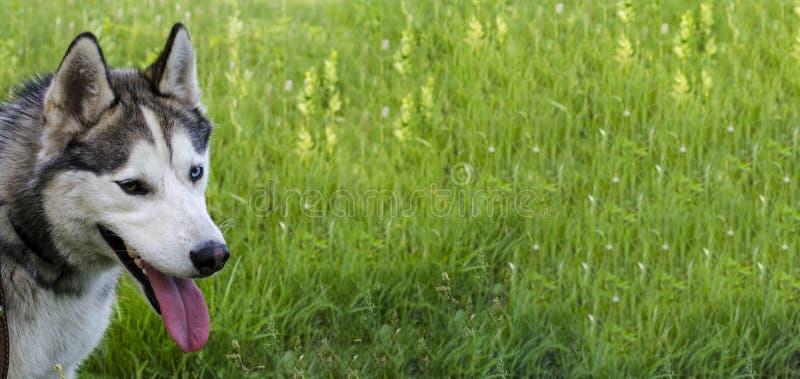 Ώριμος σιβηρικός γεροδεμένος στο πράσινο υπόβαθρο χλόης Το καλώδιο έχει γκρίζο και η άσπρη γούνα, διαφορετικά μάτια είναι μπλε κα στοκ εικόνα