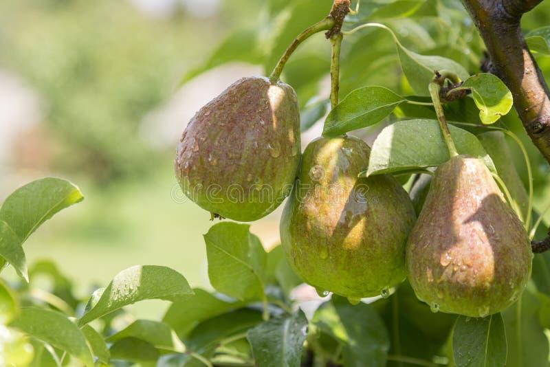 ώριμο αχλάδι, δέντρο αχλαδιών Αχλάδια του William Bon Chretian που ωριμάζουν στο δέντρο Ένα ζευγάρι των ώριμων αχλαδιών στους κλά στοκ φωτογραφίες