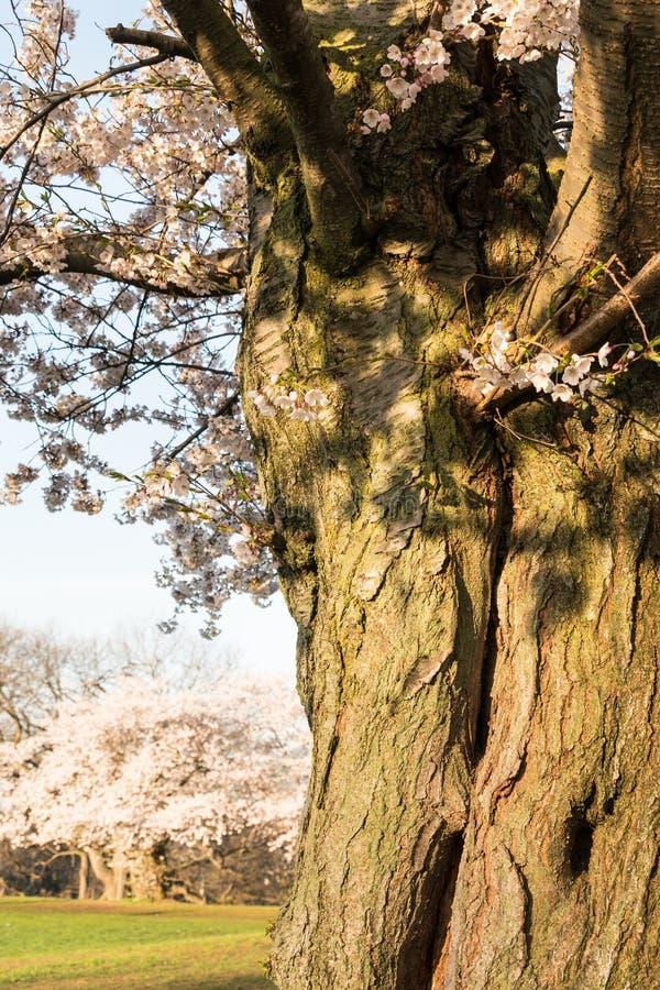 Ώριμο δέντρο κερασιών στην πλήρη άνθιση - άνοιξη στοκ φωτογραφία με δικαίωμα ελεύθερης χρήσης