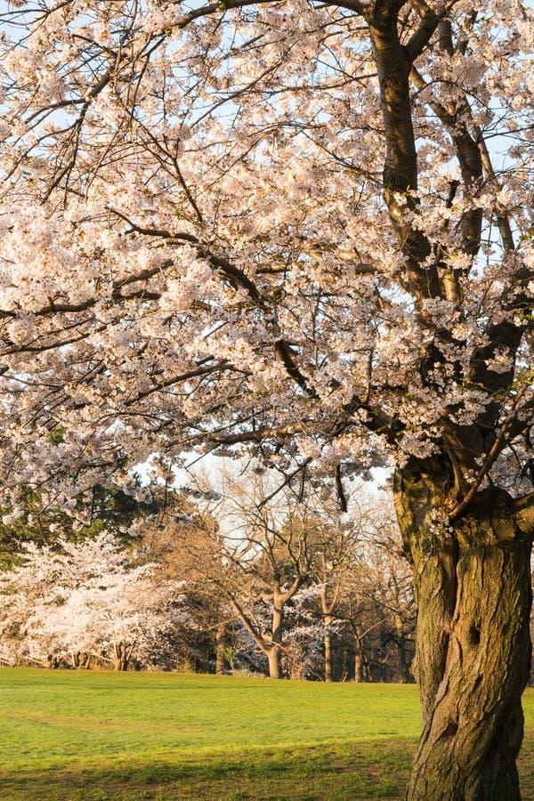 Ώριμο δέντρο κερασιών στην πλήρη άνθιση - άνοιξη στοκ φωτογραφίες με δικαίωμα ελεύθερης χρήσης