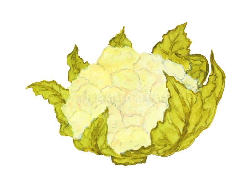 Ώριμο κουνουπίδι με τα φύλλα διανυσματική απεικόνιση