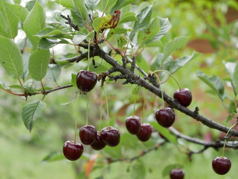 Ώριμο juicy κεράσι καφέ σε έναν κλάδο με τα πράσινα φύλλα στον κήπο μια ηλιόλουστη θερινή ημέρα Μούρα συγκομιδών στοκ εικόνα με δικαίωμα ελεύθερης χρήσης