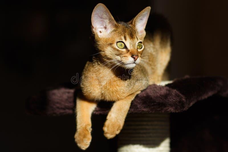 абиссинские детеныши кота стоковая фотография