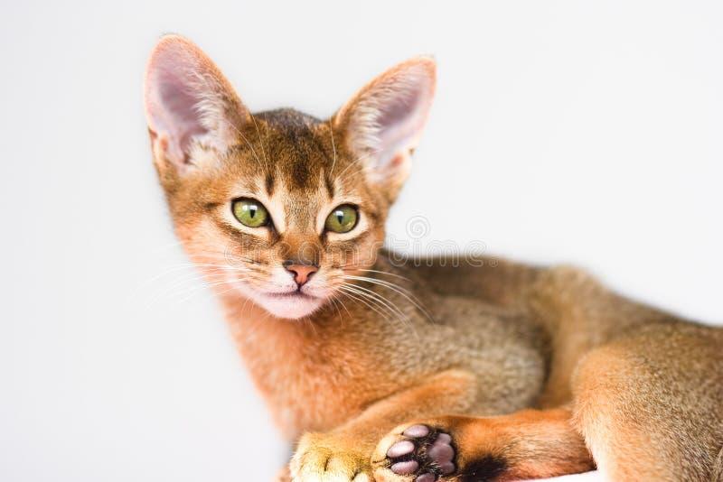 абиссинские детеныши кота стоковое изображение rf
