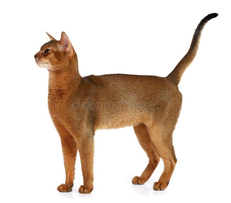 Абиссинский кот изолированный на белой предпосылке стоковое фото