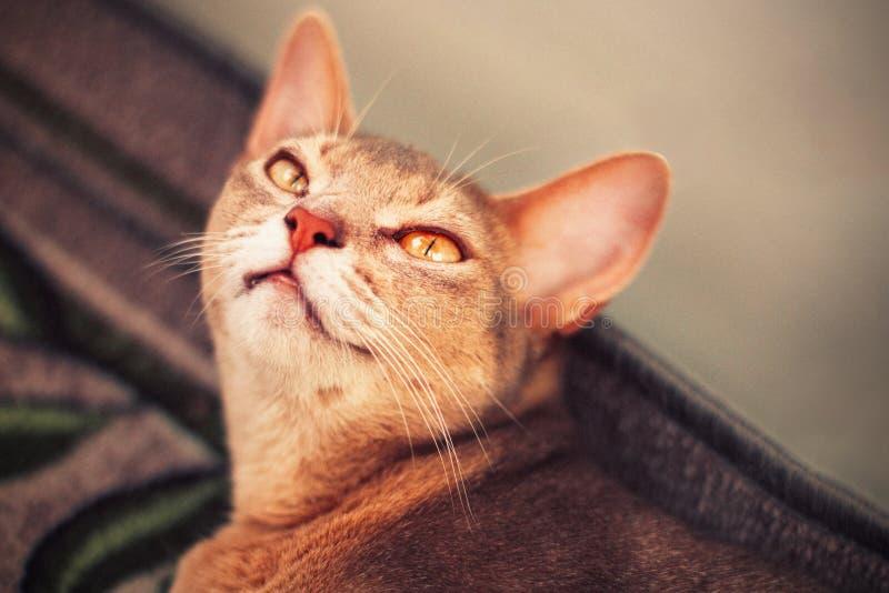 Абиссинский кот на поле Близкий поднимающий вверх портрет голубого абиссинского женского кота, лежа на ковре Милый милый кот стоковые фотографии rf