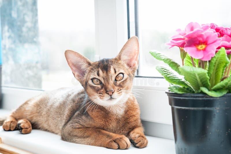 Абиссинский кот на windowsill, смотря стоковое изображение rf