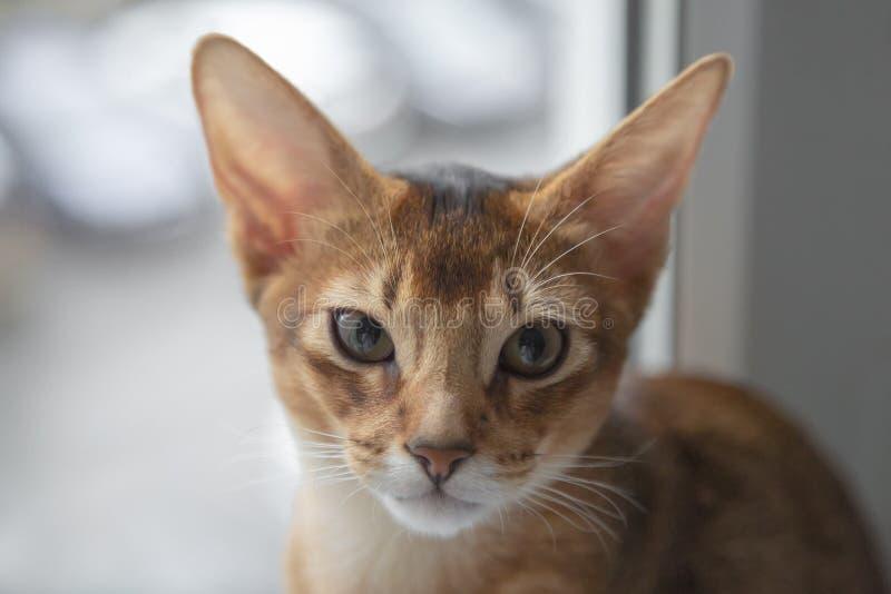 Абиссинский кот сидит, конец вверх, дикий цвет стоковые изображения rf