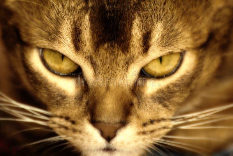 Абиссинский кот стоковое изображение