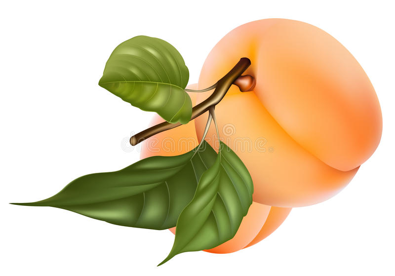 Абрикосы с листьями. иллюстрация штока
