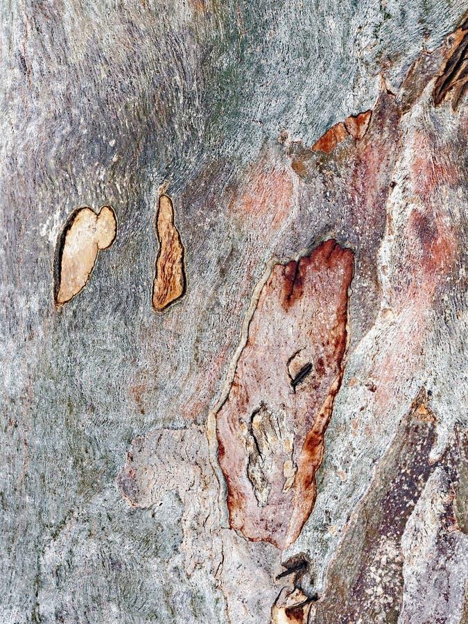 Абстрактная картина коры дерева евкалипта стоковые изображения rf
