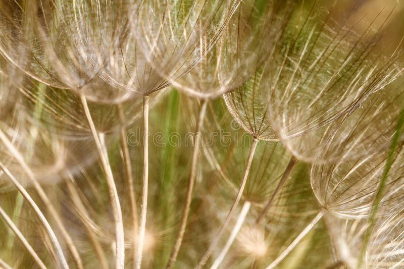 Абстрактная предпосылка цветка одуванчика с мягким фокусом стоковые фотографии rf