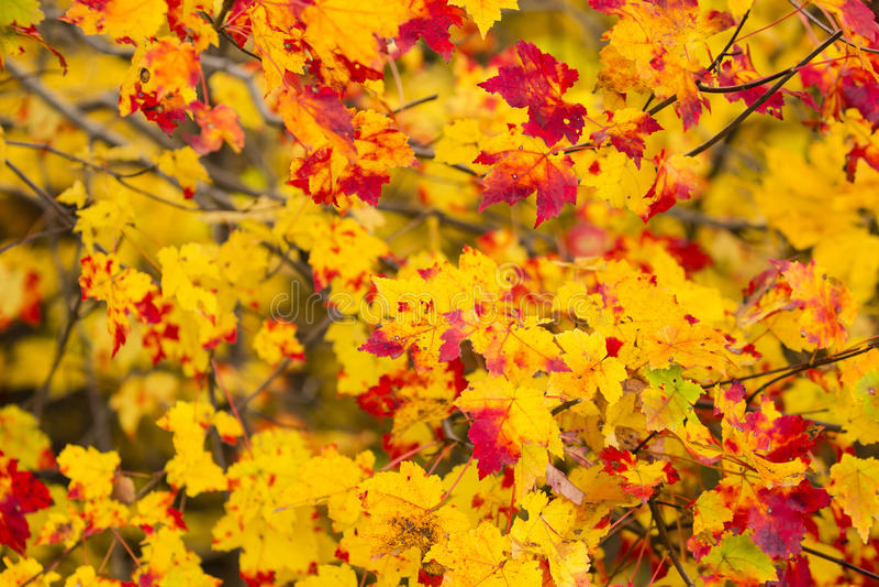 Абстрактная предпосылка: Желтые и красные листья осени стоковое фото
