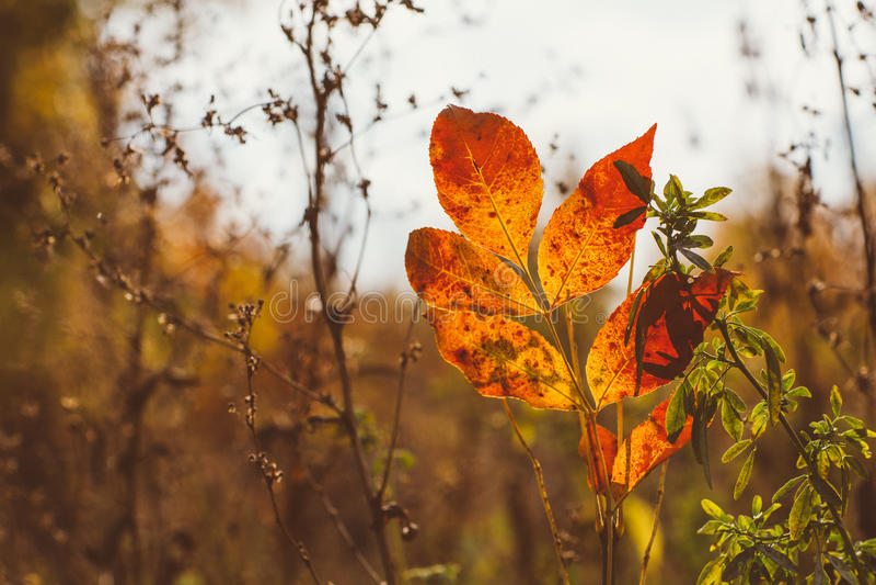 Абстрактная предпосылка листвы, красивая ветвь дерева в осеннем лесе, ярком теплом свете солнца, оранжевых сухих кленовых листах, стоковое изображение rf
