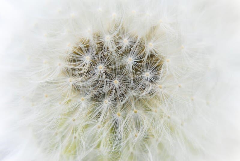 абстрактное касание семени одуванчика стоковые фото