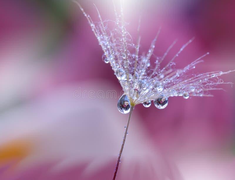 Абстрактное фото макроса с падениями воды семя одуванчика стоковое изображение rf